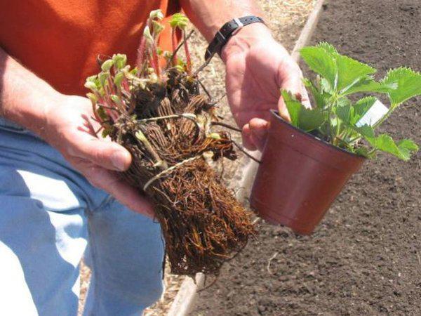 Как посадить и вырастить клубнику 2