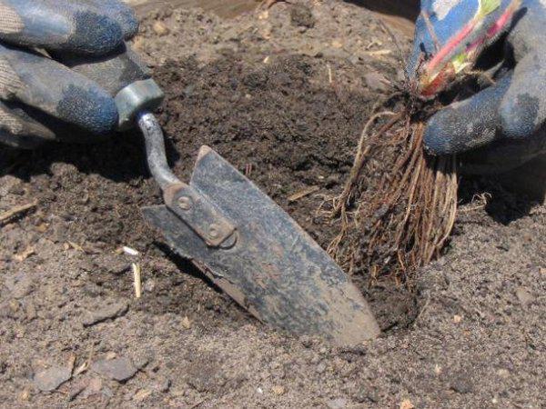 Как посадить и вырастить клубнику 3
